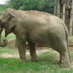 Simbolismo de… el elefante