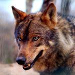 Simbolismo de… el lobo