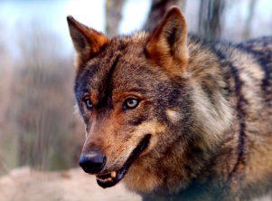 Simbolo del Lobo: Nueva Acrópolis