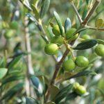 Simbolismo de… el olivo