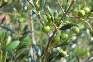 Nueva Acrópolis - Simbolismo olivo