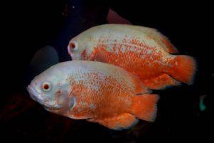 Nueva Acrópolis - símbolo pez