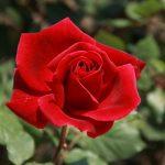 Simbolismo de… la rosa
