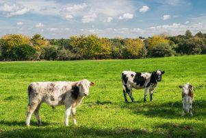 Vacas en Uruguay